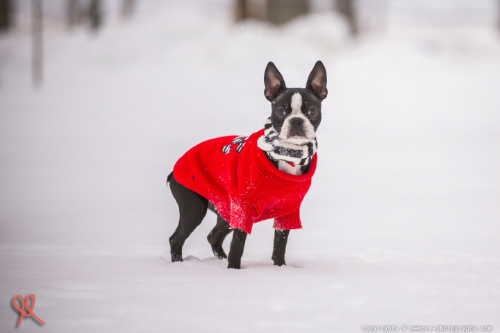 Boston Terrier (dog) animal picture {holiday season}